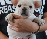 ID:FB284 French Bulldogのイメージ