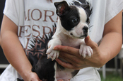 ID:BT13 Boston Terrier