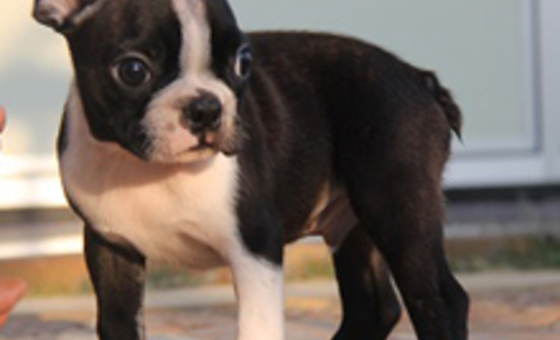 ID:BT15 Boston Terrier