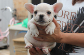 ID:FB281 French Bulldog