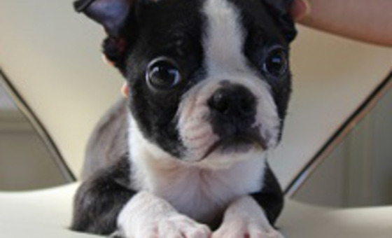 ID:BT17 Boston Terrier