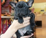 ID:FB294 French Bulldog のイメージ