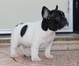 ID:FB296 French Bulldog のイメージ