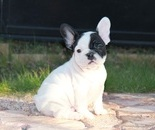 ID:FB297 French Bulldog のイメージ