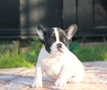 ID:FB298 French Bulldog のイメージ