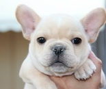 ID:FB299 French Bulldog のイメージ