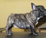 ID:FB300 French Bulldog  のイメージ
