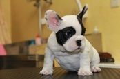ID:FB301 French Bulldog