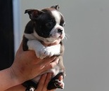 ID:BT20 Boston Terrier  のイメージ