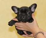 ID:FB316 French Bulldog  のイメージ