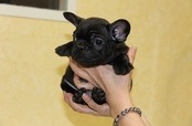 ID:FB316 French Bulldog