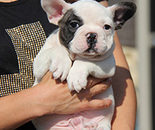 French Bulldogのイメージ