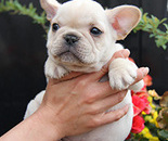 ID:FB253 French Bulldogのイメージ