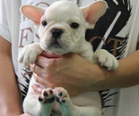 ID:FB274 French Bulldog のイメージ