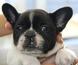 ID:FB277 French Bulldog のイメージ