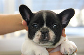 ID:FB277 French Bulldog