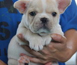ID:FB279 French Bulldog のイメージ