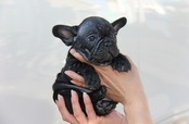 ID:FB405 French Bulldog