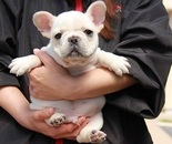 ID:FB341 French Bulldog のイメージ