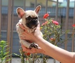 ID:FB354 French Bulldog のイメージ