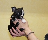 ID:BT37 Boston Terrier  のイメージ