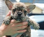 ID:FB366 French Bulldog のイメージ