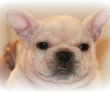 ID:FB379 French Bulldog  のイメージ