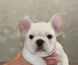 ID:FB495 French Bulldog のイメージ