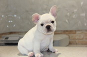 ID:FB495 French Bulldog