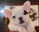 ID:FB490 French Bulldog のイメージ