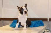 ID:BT104 Boston Terrier