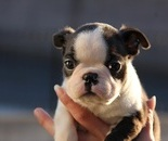 ID:BT72 Boston Terrier のイメージ