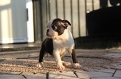 ID:BT72 Boston Terrier