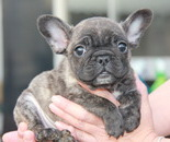 ID:FB528 French Bulldog のイメージ