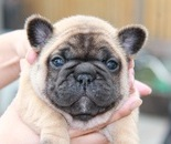 ID:FB447 French Bulldog のイメージ