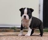 ID:BT93 Boston Terrier のイメージ
