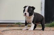 ID:BT93 Boston Terrier
