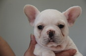 ID:FB459 French Bulldog