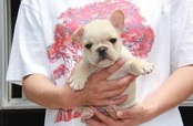 ID:FB454 French Bulldog