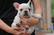 ID:FB472 French Bulldog