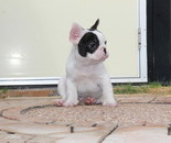 ID:FB474 French Bulldogのイメージ