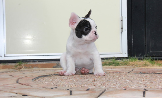 ID:FB474 French Bulldog