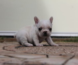 ID:FB475 French Bulldogのイメージ