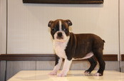 ID:BT103 Boston Terrier