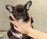 ID:FB645 French Bulldogのイメージ
