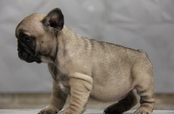 ID:FB651 French Bulldog