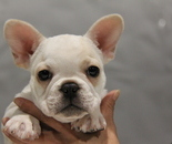 ID:FB653 French Bulldogのイメージ