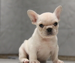 ID:FB659 French Bulldogのイメージ