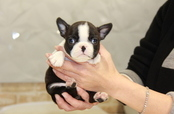 ID:BT157 Boston Terrier