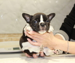 ID:FB662 French Bulldogのイメージ